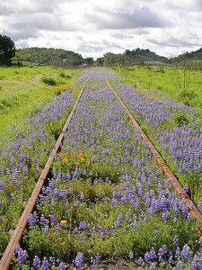 Lupine, California Poppies, railroad track Healdsburg, CA