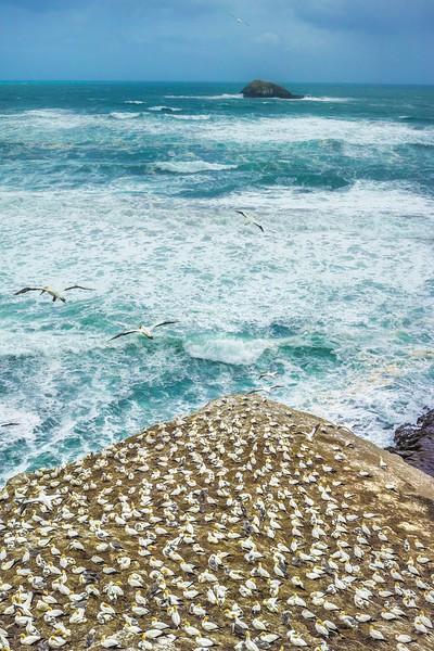 Hovering Gannets