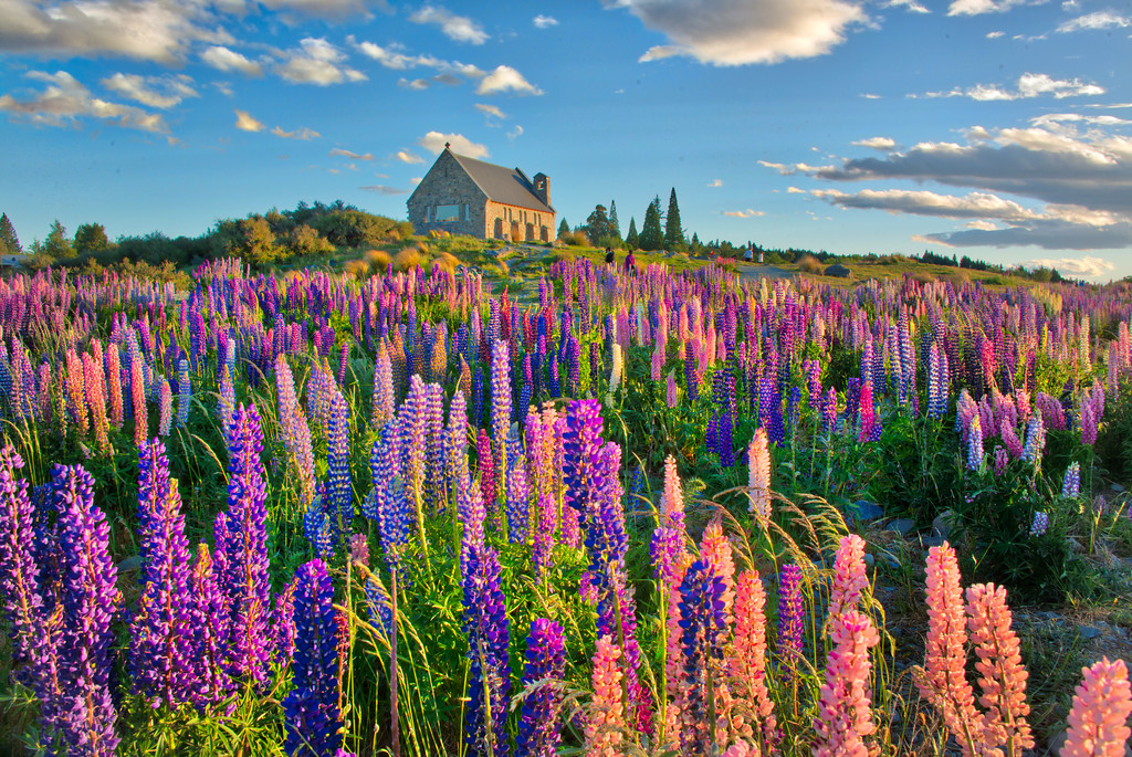 Bright Fields Of Lupins
