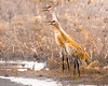 Calling Sandhill Cranes
