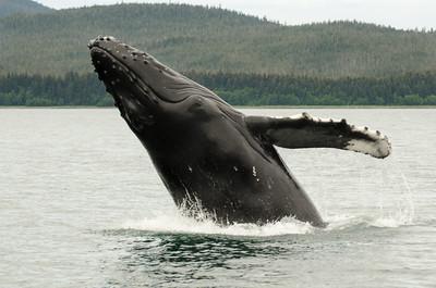 Humpback Whales #5, Juneau Alaska