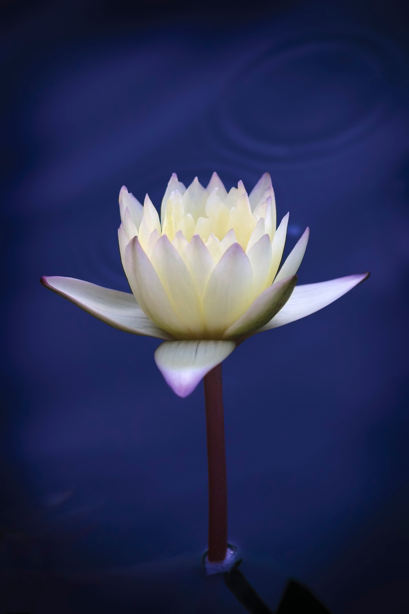 White Water Lily No. 1