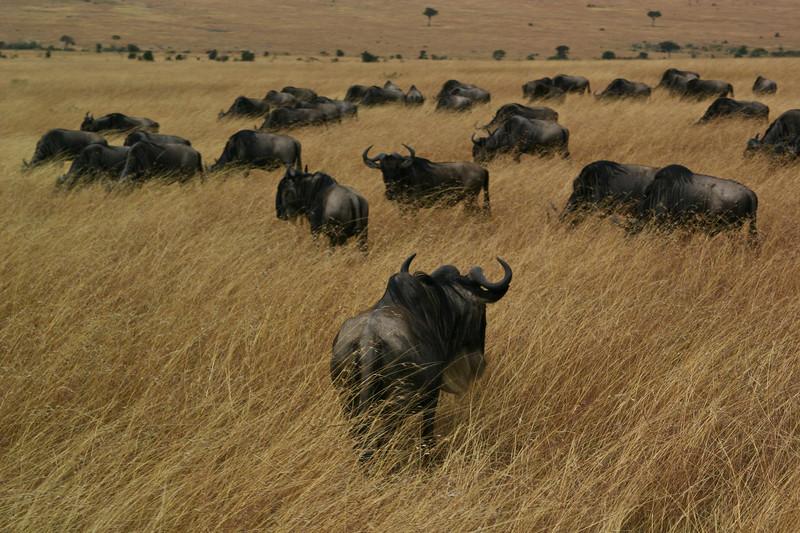 Mara Wildebeest Migration