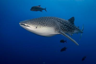 Whale Shark - Roca Partida, Mexico