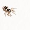 Zebra Spider