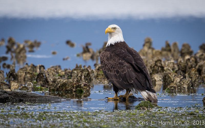 Eagle Bald mature-5026