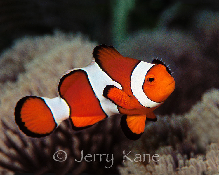"Clown Anemonefish (Amphiprion ocellaris) - Wakatobi, Onemobaa Island, Indonesia  To see more anemonefish, click <A HREF=""http://sealifeimages.smugmug.com/gallery/4340915_PbnUQ#9462427_sxGCr""> here</a>"