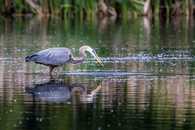 Great Blue Heron having a snack.