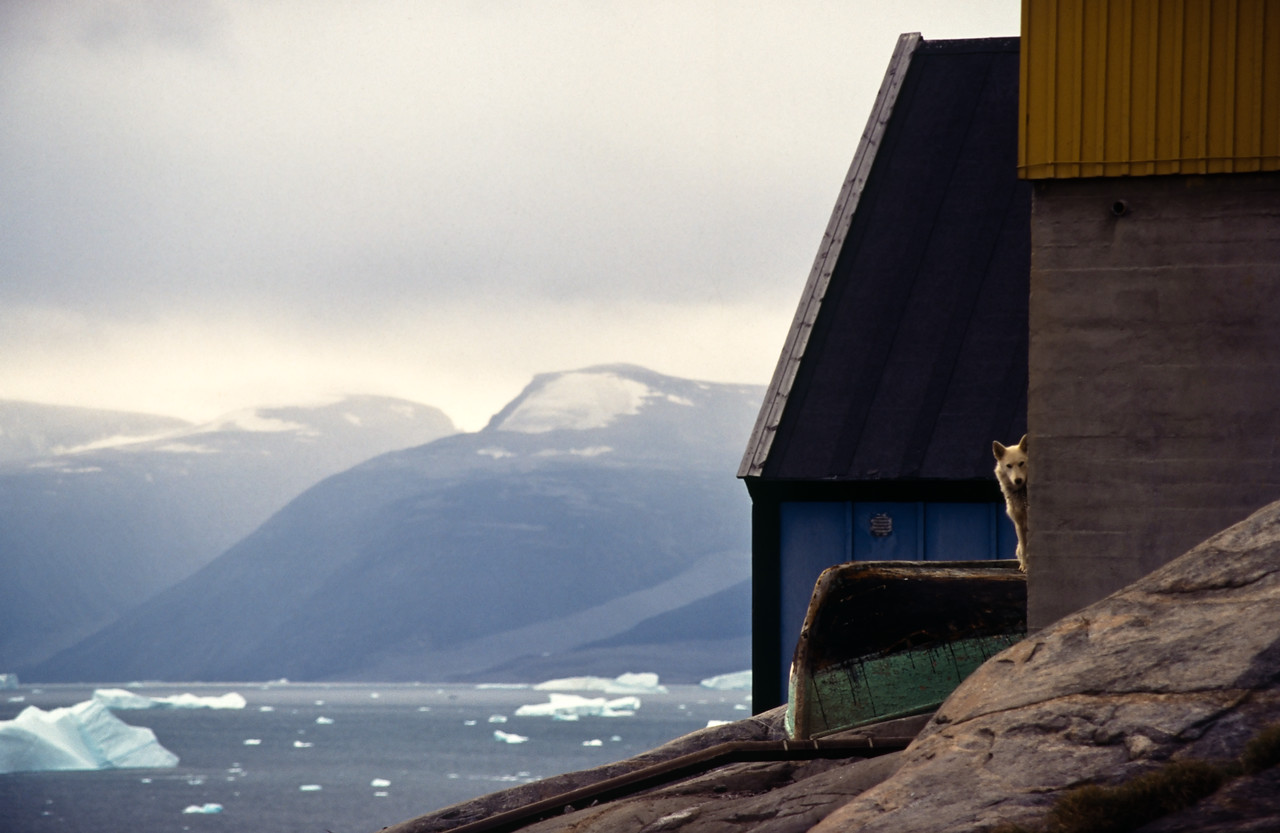 A staked out sled dog, standing on an overturned boat, peeps around the corner of a building in Uummannak, Greenland with the icy waters of Uummannak Fjord in the background.