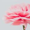 Power Pink Petals