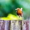 Robin on garden fence