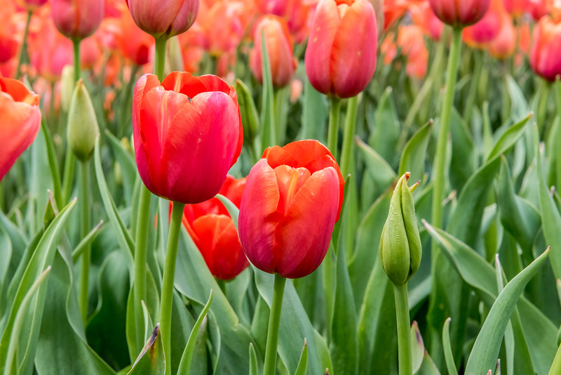 """Brown Sugar"" Tulip"