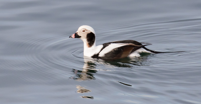 Long-Tailed Duck-5549