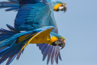Blue and gold macaw (Ara ararauna). Parrot birds flying. Wildlife image with copy space.
