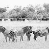 Zebras And Water Buffalos