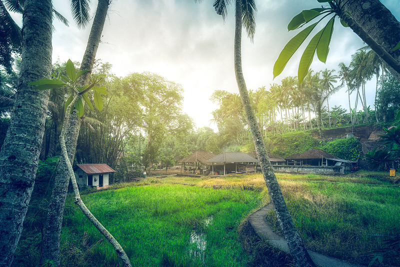 Jungle Rice Fields