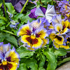Pansy Patterns