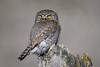 Northern Pygmy Owl-7551