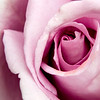 Hampton Rose_1