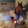 Racehorse Dressed in Blanket and Boots