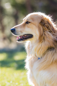 Profile pet portrait of a golden retriever dog.