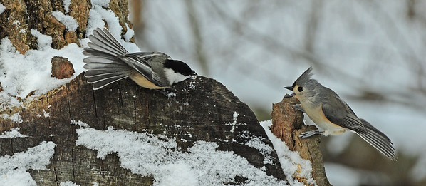 Confrontation between chickadee and titmouse