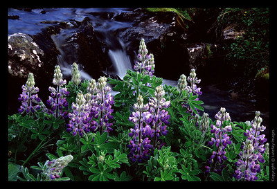 E07 Purple Lupine