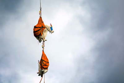 Two blind-folded mountain goats dangle from a helicopter in Olympic National Park as they await processing Sept. 13, 2018. Olympic National Park and several other agencies are working to move about 700 mountain goats to the North Cascades. (Jesse Major/Peninsula Daily News)