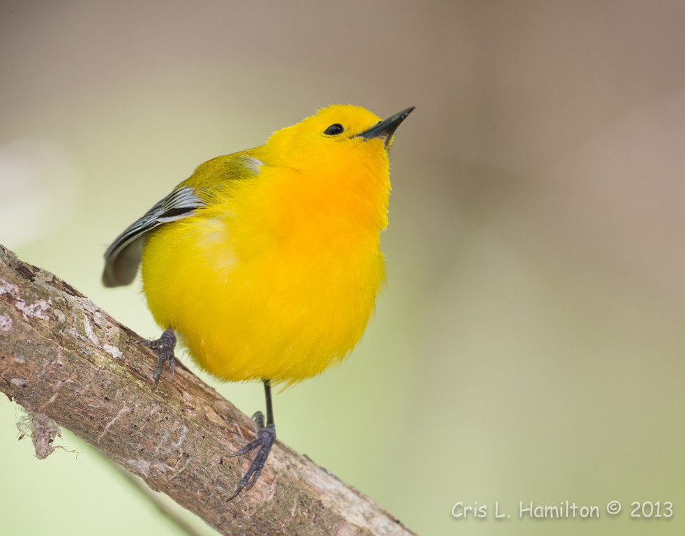 Prothonotary Warbler_1244