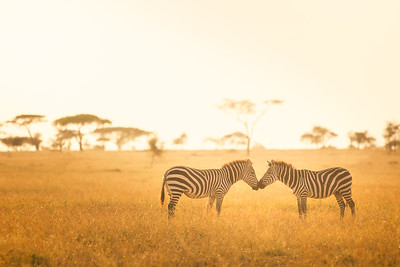 Zebra Love in the Serengeti