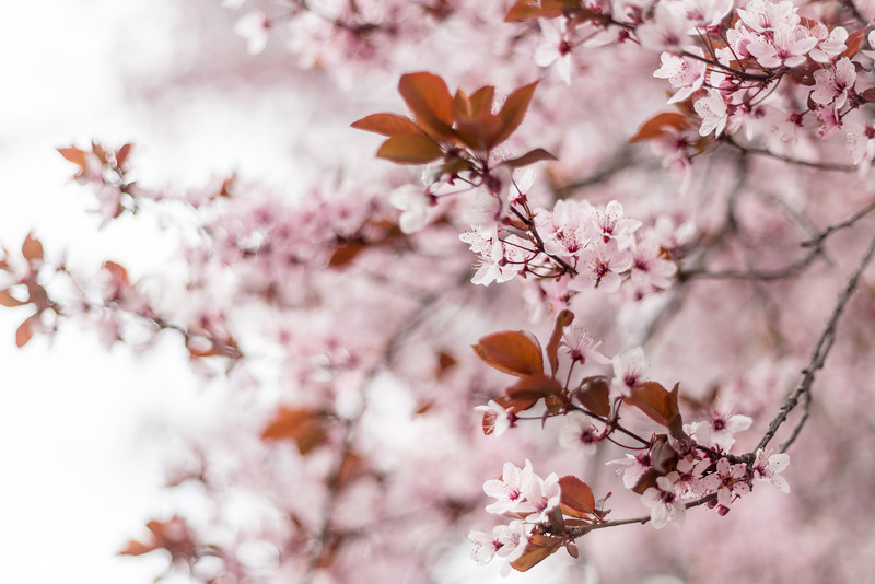 Spring Blossoms - Granada