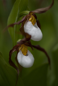 Mountain Lady-slipper