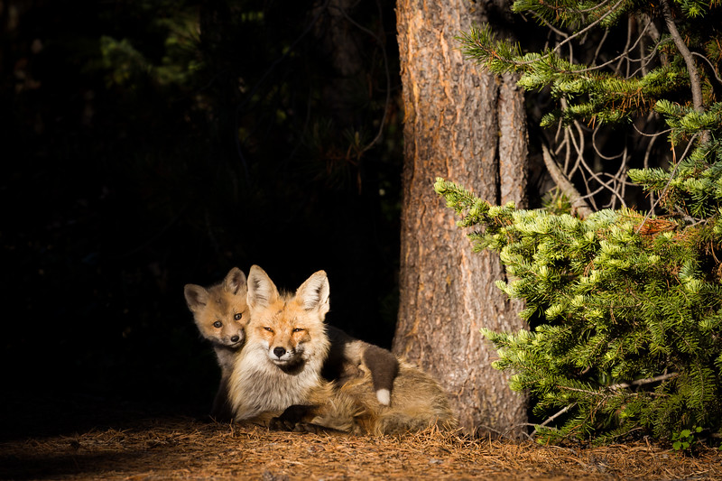 We were absolutely captivated by how this particular fox kit was always near its mom.  It was continually affectionate and loving towards her.