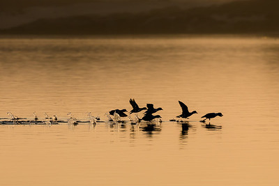 A flock of buffleheads taking flight as the sun sets in Morro Bay, California