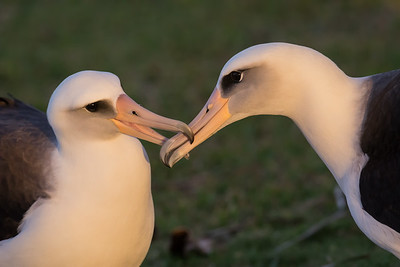 Courting Ritual Laysan Albatross