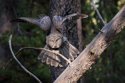 A Great Gray Owll Stretches Its Massive Wings Before Taking Flight