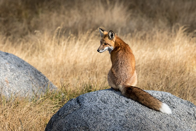 We were very lucky to find this fox in Yellowstone National Park and even more fortunate that it was so accepting of our presence that it alllowed us to photograph it before it moved off to hunt.