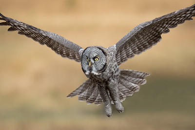 A Great Gray Owl flys toward us while seeking a perch to survey a meadow for voles,  Yellowstone National Park.