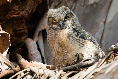A  curious great horned owlet stares at us
