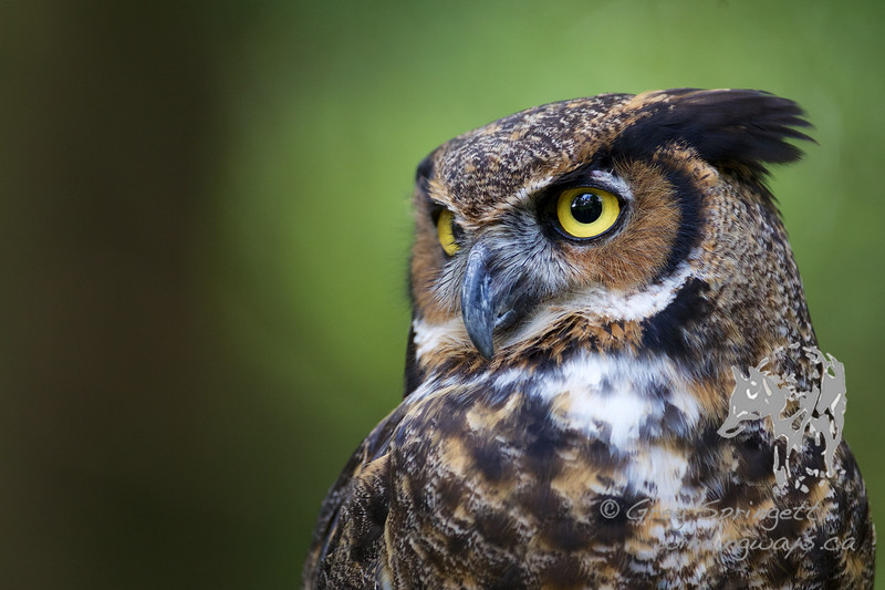 Portrait of a Great Horned Owl