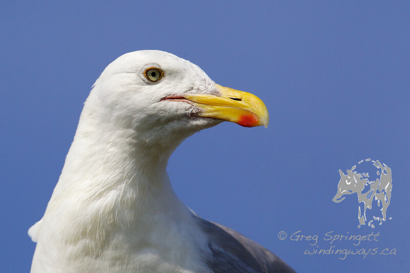 Portrait of a Gull