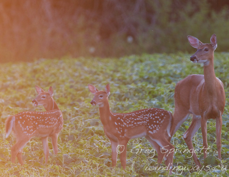 The twins and mom, on Alert.<br /> <br /> I was on an old dirt road looking for wildlife when I found two does, and three fawns. I pulled over onto the shoulder to take photos of this family out the window. I am patiently waiting, and watching as they drift into the better light. <br /> <br /> A blue pickup truck rolls up beside me. I get a glare, and then he drives off with a bit of a roar. <br /> This is the last shot, before the tails go up and they bolt over the hill.