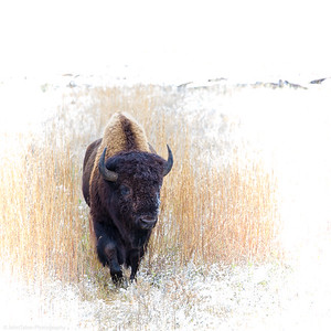 Bison in Early Snow