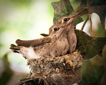 Hummingbird Chicks (different edit)