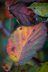 Bramble leaves-2