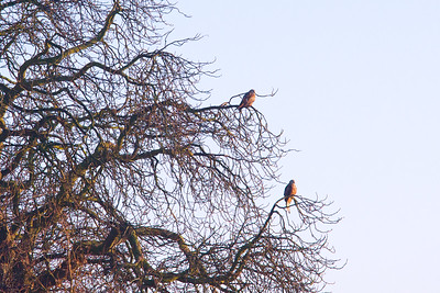 Kites in chestnut branches
