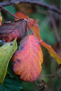 Bramble leaves-1