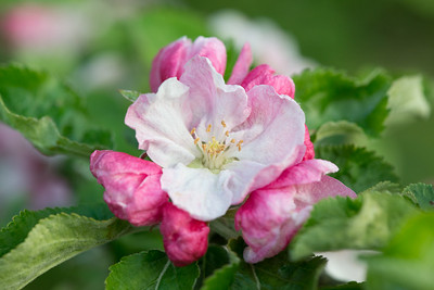 Apple blossom (28 of 28)