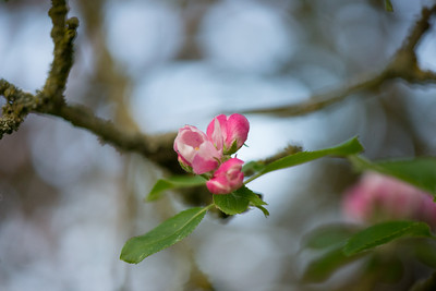 Apple blossom (16 of 28)