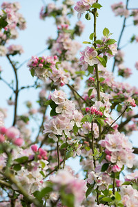 Apple blossom (25 of 28)